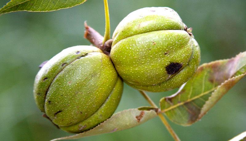 nuts grow farm hickory