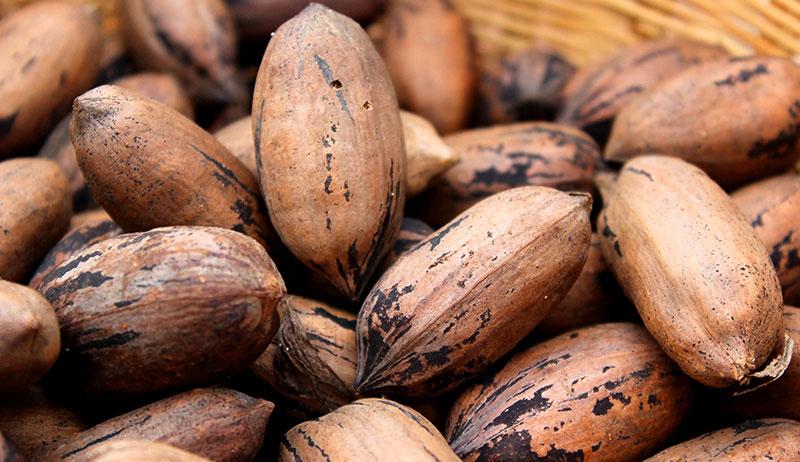 nuts grow farm pecans