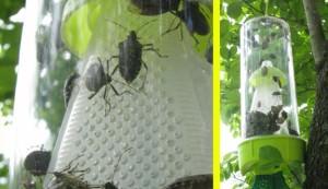 stink bug trap, stink bugs
