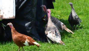 turkeys heritage breeds marketing