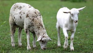 Goat and sheep eating fresh green grass rural scene