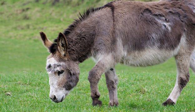 famous donkeys