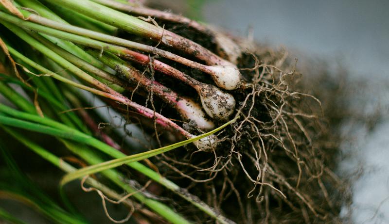 garlic pests early spring crops
