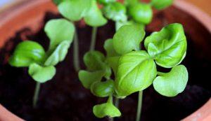 basil seedlings starts start seeds