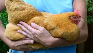 chicken obesity chickens