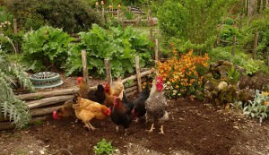 permaculture chicken-keeping