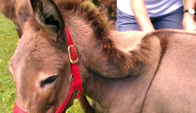 broken crest on donkey