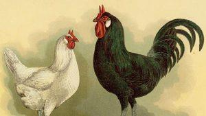 ameraucana chicken colored eggs