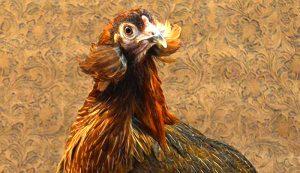 Araucana chicken colored eggs