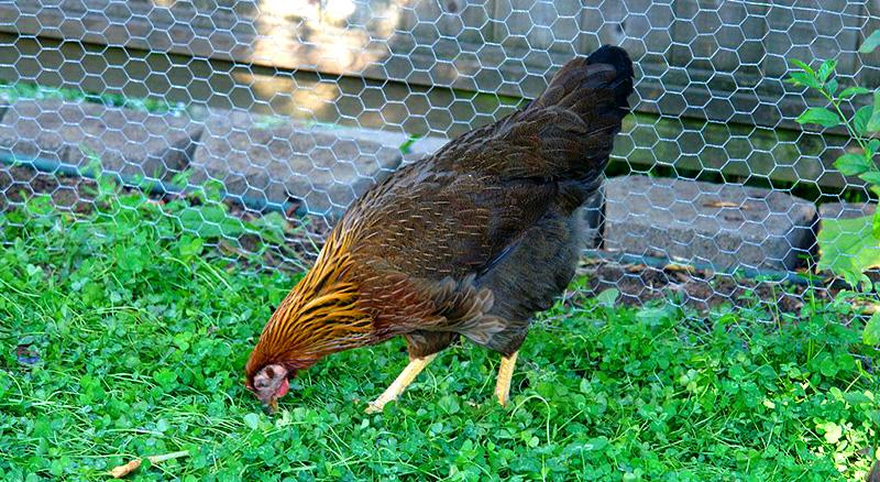 welsummer chicken colored eggs