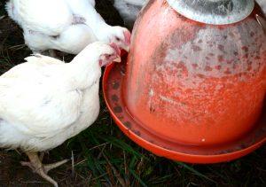 chicken waterers feeders