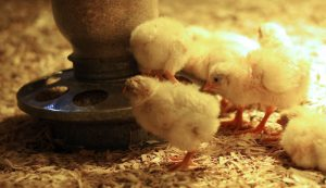 chick diseases