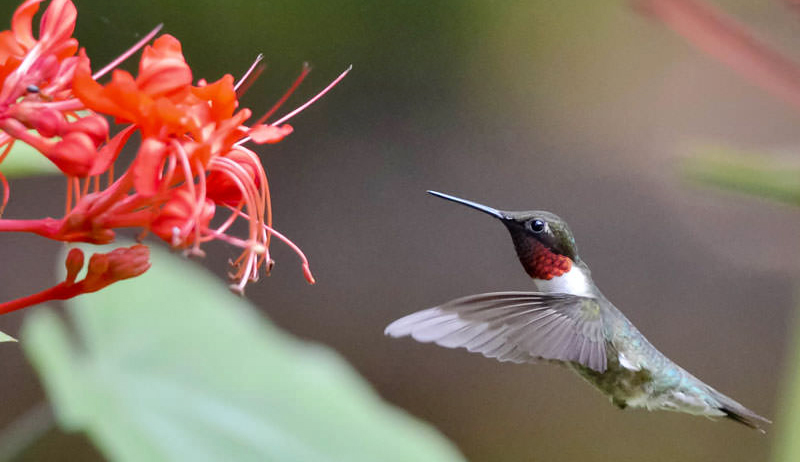 hummingbird hummingbirds gardening flowers