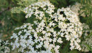 elder blossoms