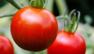 soil tomatoes