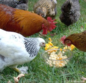 deworm deworming chickens herbs