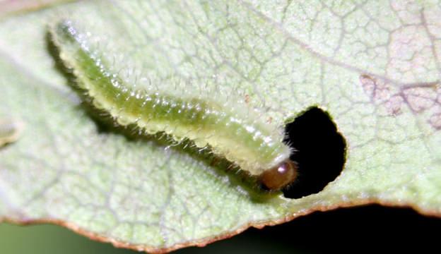 rose slug
