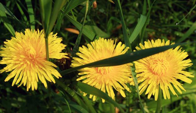 dandelion, weed