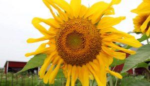 sunflower sunflowers
