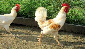 herbs chickens love