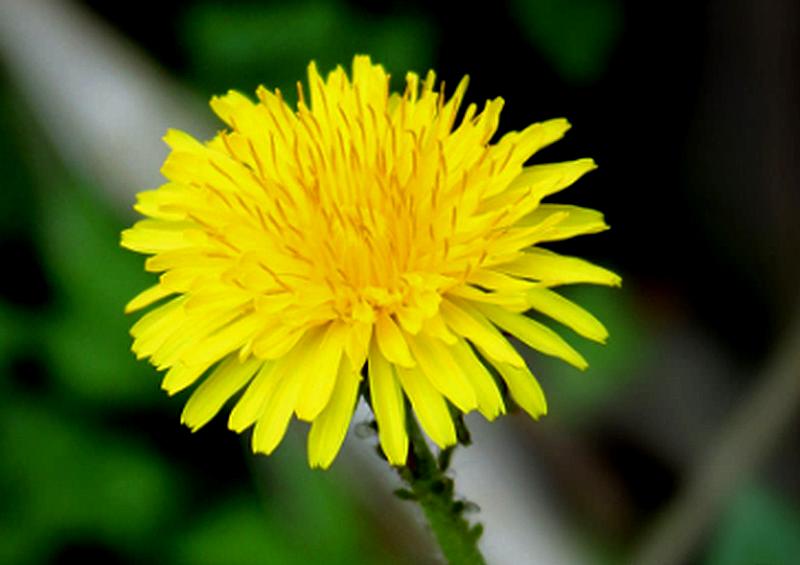 herbs dandelion flower