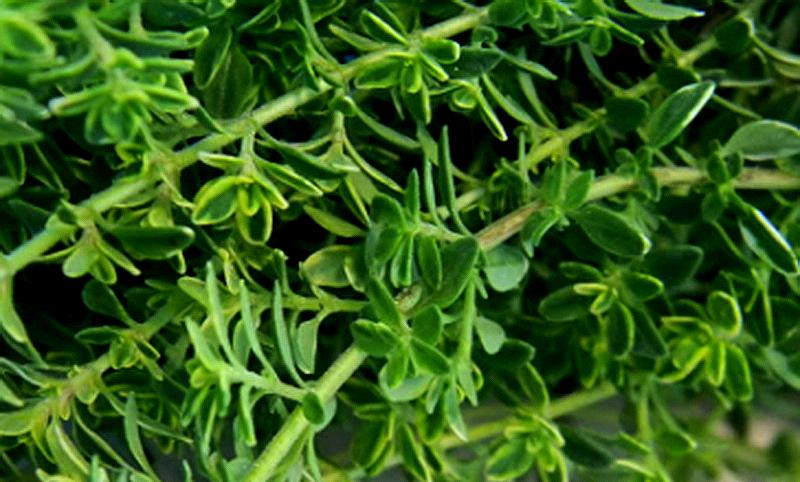 herbs thyme