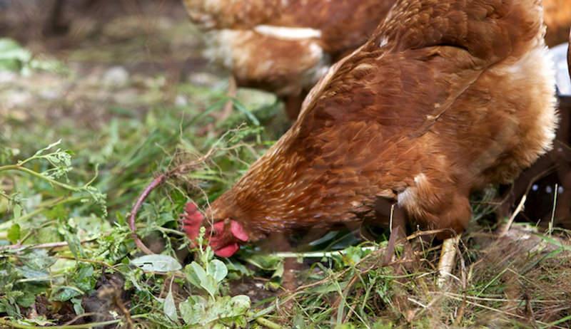 chicken forage