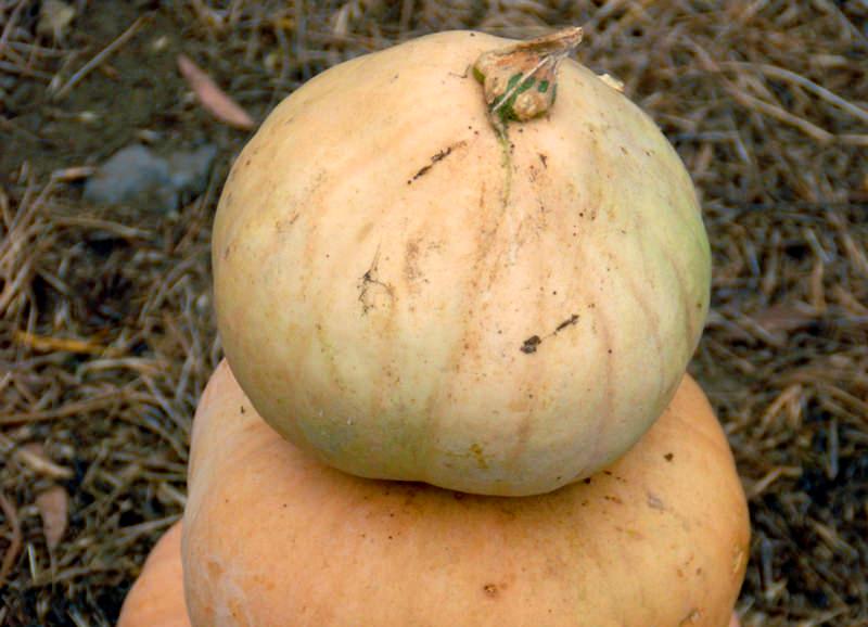 pumpkins long island cheese