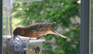 wild bird on window bird feeder