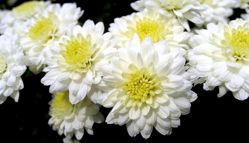 mums (C. morifolium)