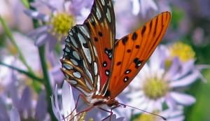 butterfly, flower, pollinator
