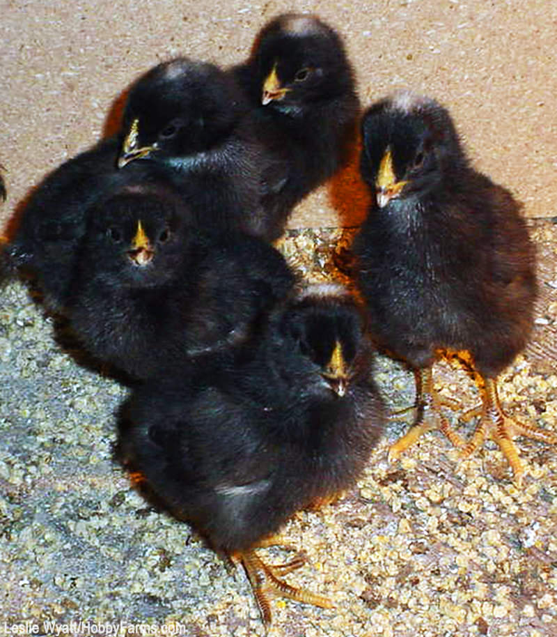 incubate hatch chicken eggs chicks