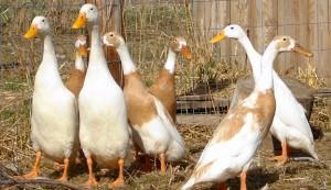 layer ducks duck eggs