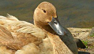 duck breeds eggs campbell