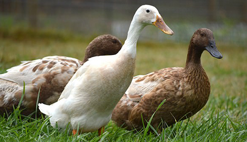 duck breeds eggs runner