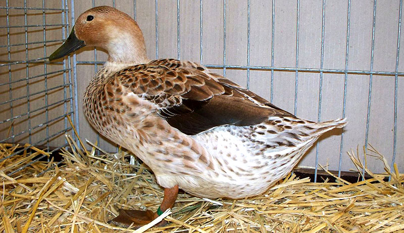 duck breeds eggs welsh harlequin