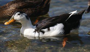 duck breeds eggs magpie