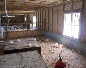brooder chicks brooderhouse