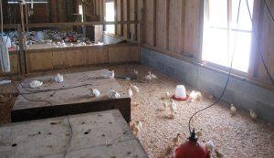 brooder house chicks