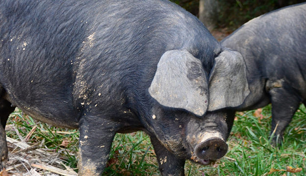 woodlot pigs