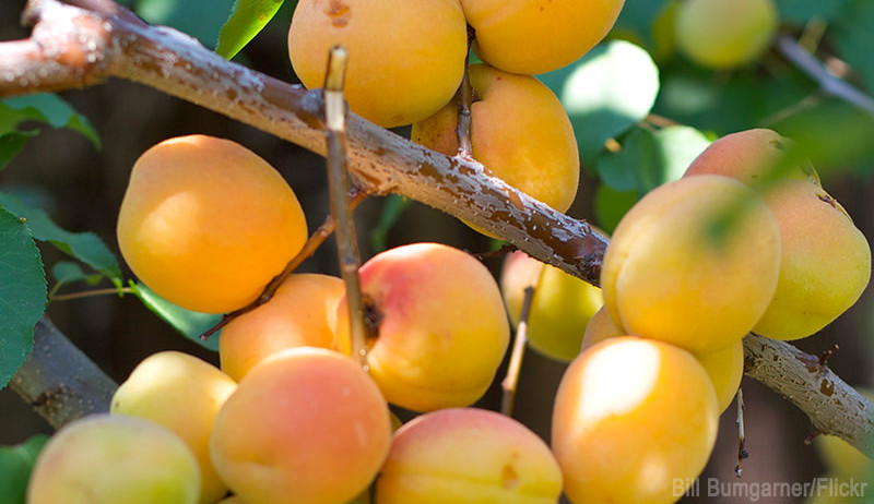 apricots toxic plants chickens