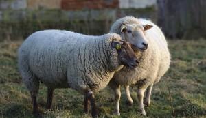 keep sheep