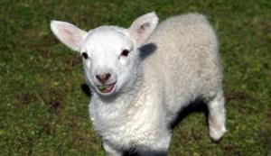 speak goat or sheep