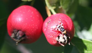 orchard, insect, fruit