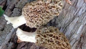 mushrooms, morels