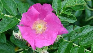 roses rose medicinal healing