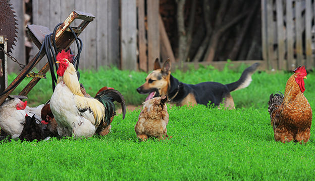 dogs and chickens