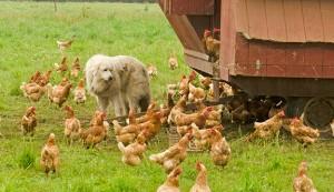 livestock guard dogs