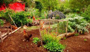 free-range chickens soil benefits