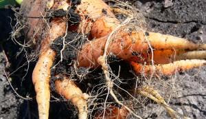 root know nematodes